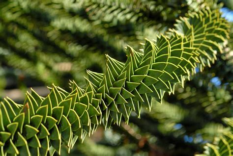 monkey puzzle bensozia the monkey puzzle tree