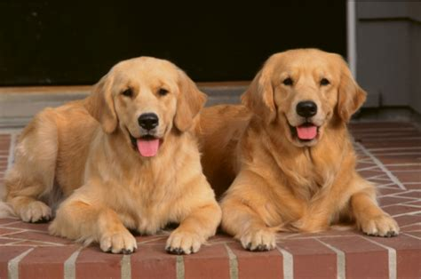where did golden retrievers originate from golden retrievers pictures information grooming and breeds picture