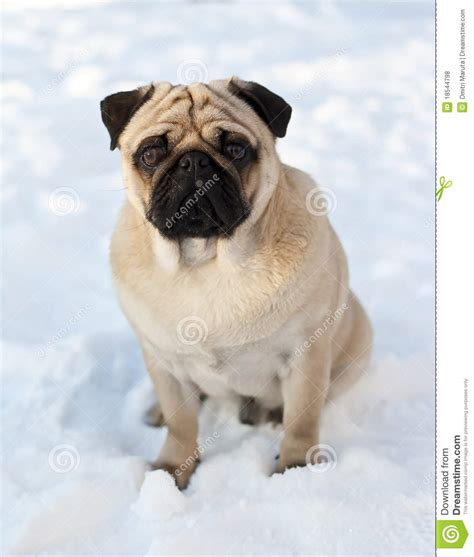 pug in snow pug in the snow royalty free stock photos image 18544798