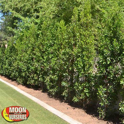 ficus nitida hedge indian laurel columns hedge trees moon valley nursery
