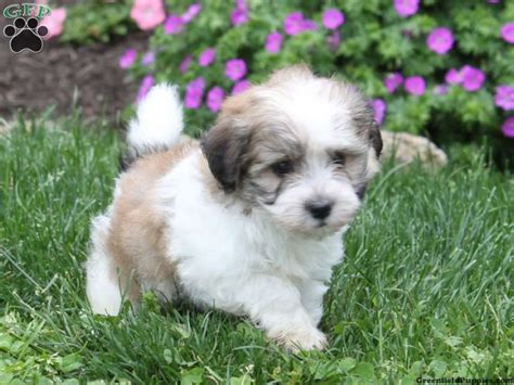best havanese breeders in nj havanese poodle mix breeders breeds picture