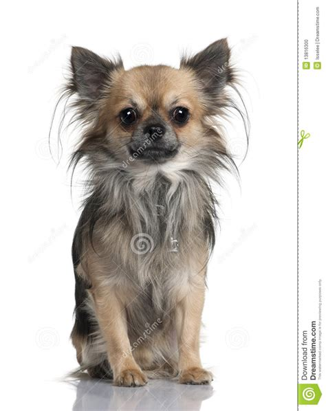 long haired chihuahua hairstyles haircuts for long haired chihuahua hairstylegalleries com