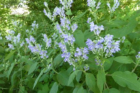 native plants unlimited home indiana native plants