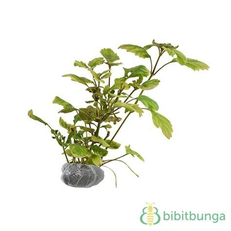 Minyak Nilam Makassar Hari Ini tanaman patchouli daun nilam