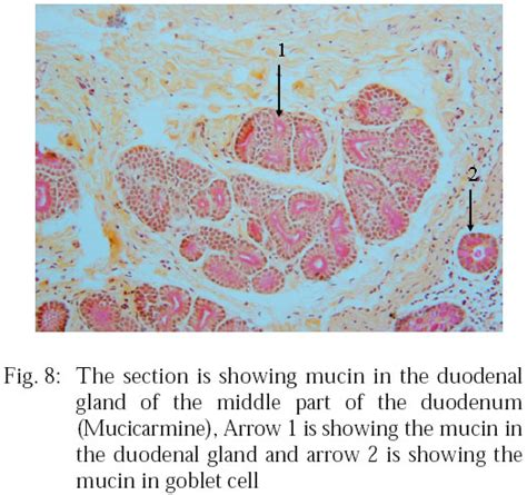 middle section of the small intestine histological and histochemical investigation on duodenum
