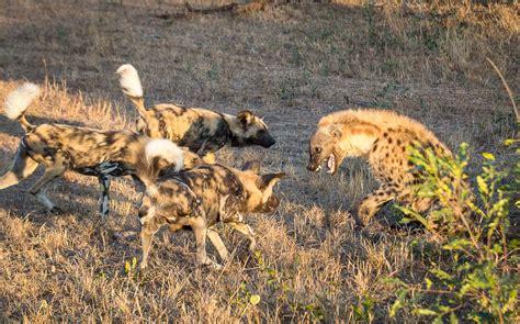 are hyenas dogs vs hyena sabi sabi reserve