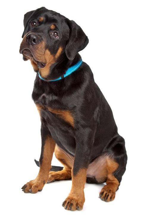 rottweiler personality what your choice of says about your personality uk news express co uk