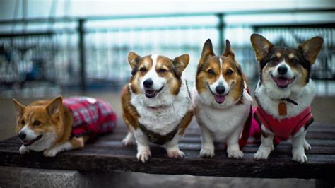 how much do corgi puppies cost how much does a corgi cost reference
