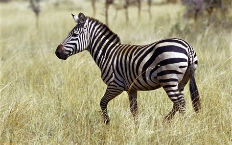 house zebra zebras lovely hd pictures wallpapers 2013 beautiful and