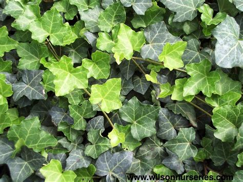 english ivy thorndale english ivy wilson nurseries