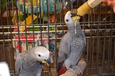african grey congo parrot 131636 for sale in lincolnton nc