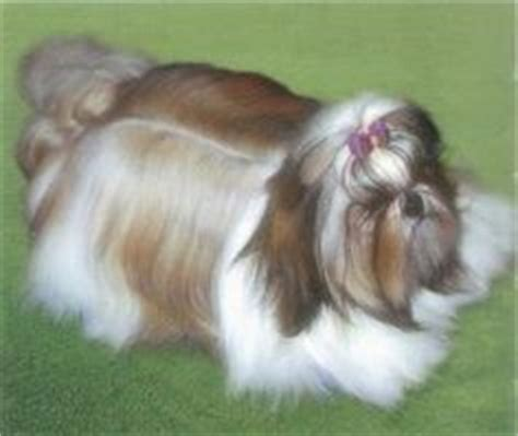 what type of coat does a shih tzu 1000 images about shih tzu hairstyles on shih tzu hair cut styles and
