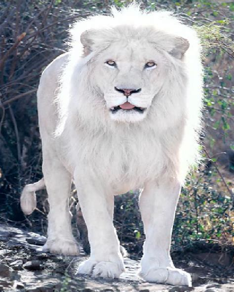 imagenes de leones albinos im 225 genes tigres y leones blancos albinos y de bengala