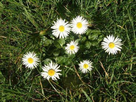 pratolina fiore fiori in cucina ricette curiosita e consigli sezione