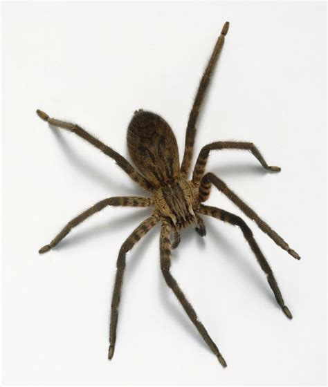 House Spiders by Spiders As Big As Mice Invading Homes As Randy Creatures