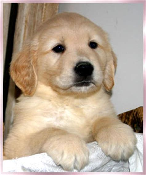 golden retriever breeders orange county golden retriever puppy for sale orange county ca dogs our friends photo