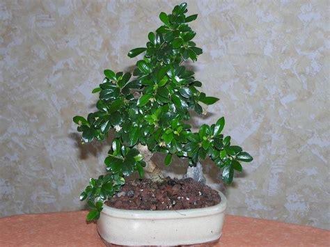 bonsai fiori bianchi come curare un bonsai di carmona fare bonsai i bonsai