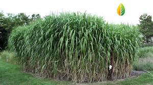 giant carajas grass elephant grass with energy crops brazil youtube