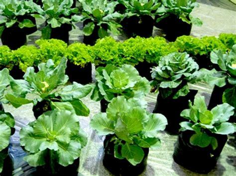 Bibit Bayam Cabut manfaat bayam dan cara menanam bayam dalam polybag