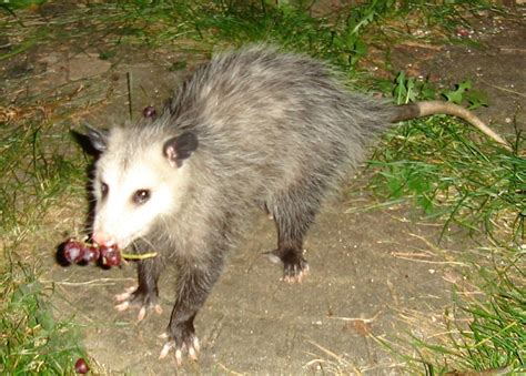 file opossum with grapes jpg wikimedia commons