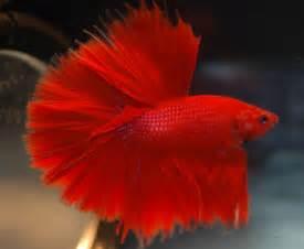 betta fish colors betta fish