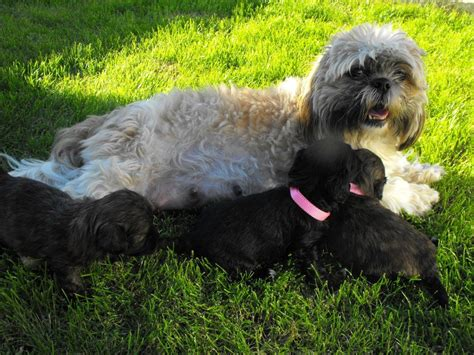 shih tzu poodle cross puppies for sale shih tzu cross poodle shih poo puppies pontypool torfaen pets4homes