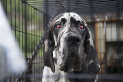 puppy rescue nh 84 great danes rescued from new hshire puppy mill pet rescue report