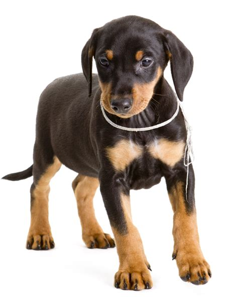german pinscher puppies german pinscher puppies breed information puppies for sale