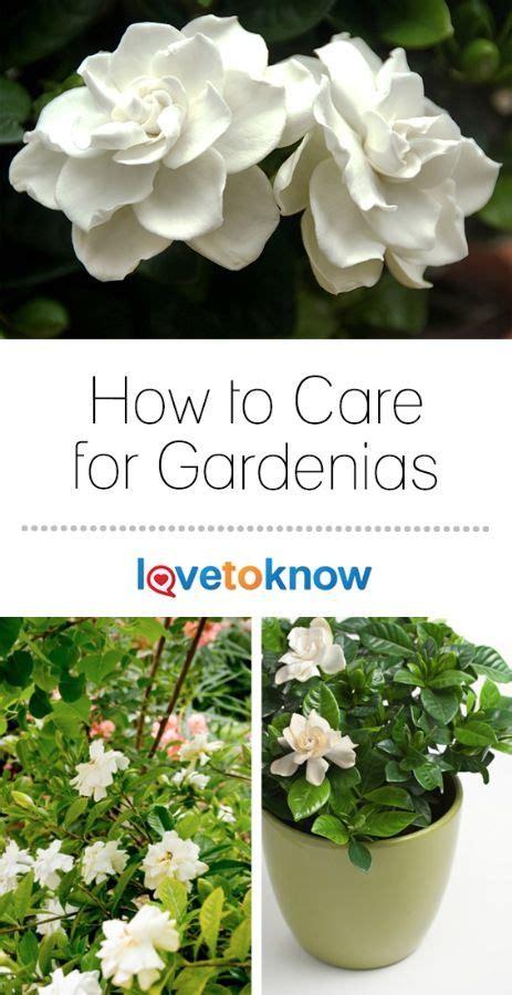 gardenia plant care gardenia plant patio plants