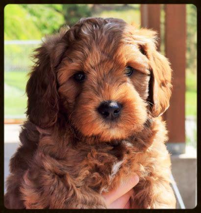 australian labradoodle puppy labradoodle puppies for sale