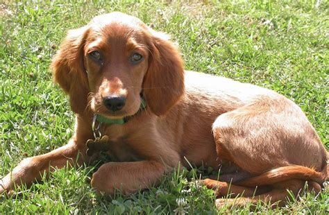 setter dogs pictures all breeds dogs irish red setter dog