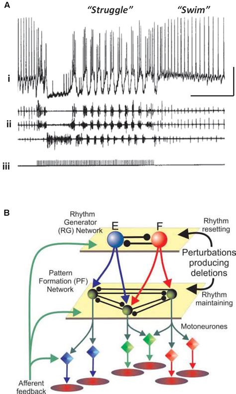 pattern generator spinal cord frontiers does epileptiform activity represent a failure