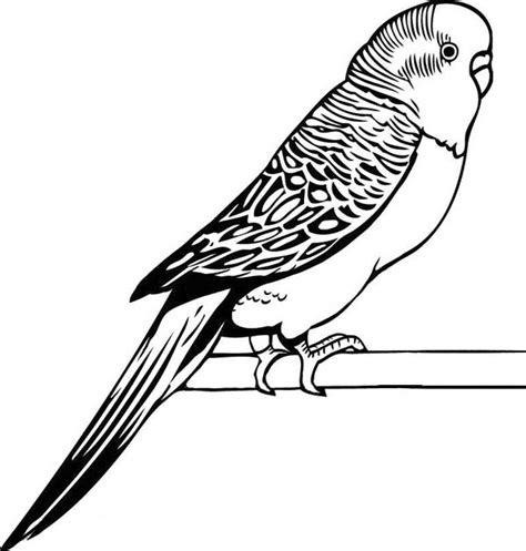 image gallery parakeet drawing