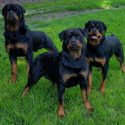 how to get my rottweiler bigger best 25 german rottweiler ideas on