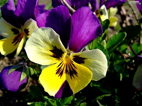 pansy colors color pansy flowers wallpapers 1600x1200