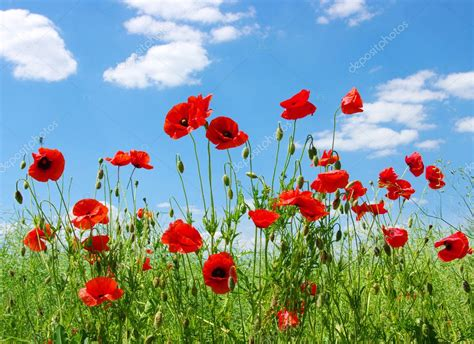 google images poppies red poppies stock photo 169 ale ks 9920420