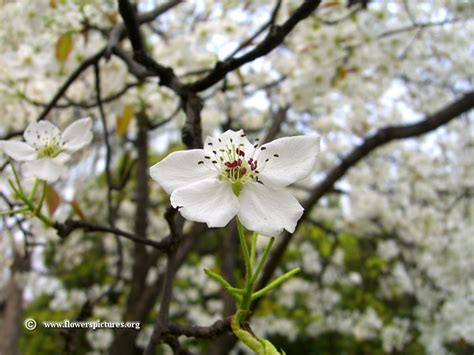 floral pictures pear blossom picture