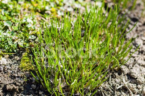 file herb garden spring blooms huntington jpg chive herb flowers on spring garden stock photos