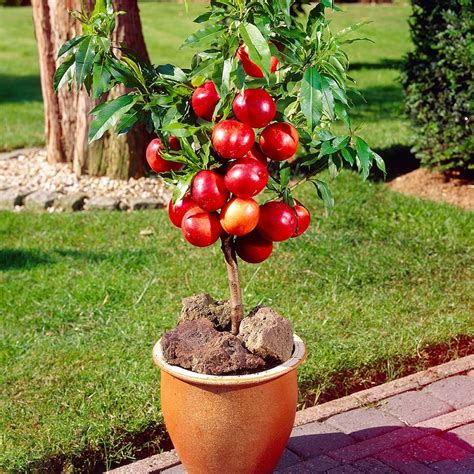 j parkers fruit trees a guide to patio fruit trees the garden