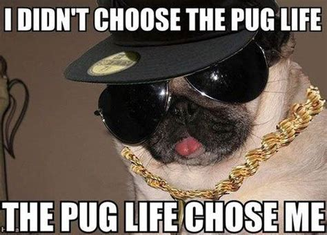 pugs springfield mo 17 best images about pet meme s on pets memes and