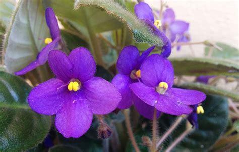 imagenes de flores llamadas violetas fotos de las flores de la violeta africana o saintpaulia