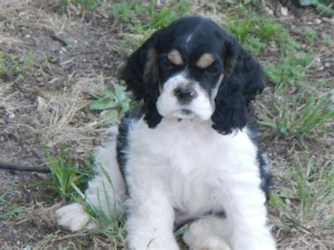 cocker spaniel puppies for sale in sc view ad cocker spaniel puppy for sale south carolina beech island