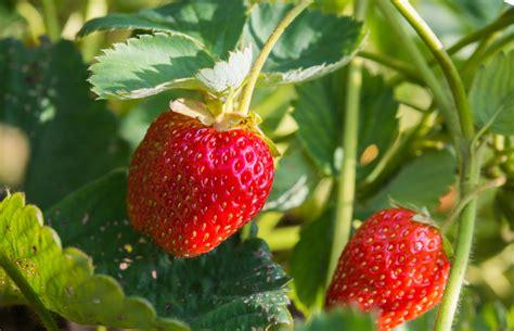 wie pflanze ich erdbeeren 4145 erdbeeren und tomaten zusammen pflanzen 187 eine gute idee