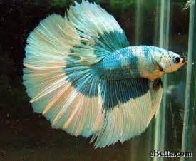 nature s beauty betta fish