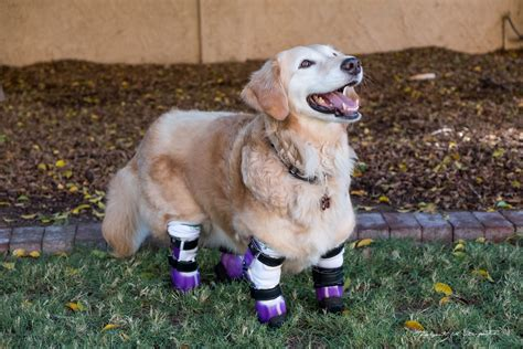 golden retriever therapy chi chi the golden retriever therapy has four prosthetic paws