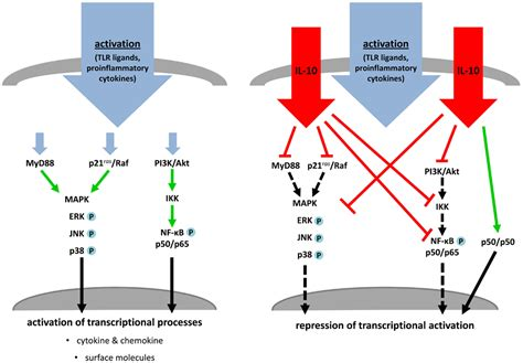 frontiers induction of regulatory t 100 t cell expression of il10 id2 represses e2a