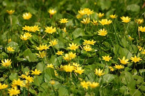 small yellow flowers in grass 4 free photos highres