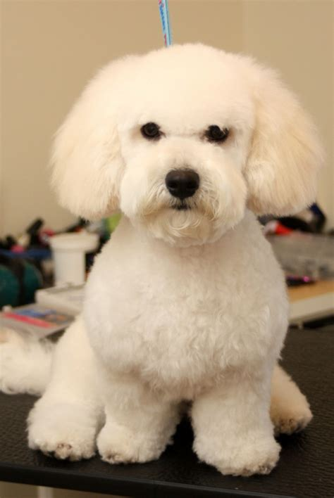Bichon Poo Haircuts | images of bichon poo haircuts newhairstylesformen2014 com