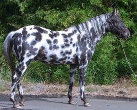 Black Mustang Horses For Sale Galer 237 A De Im 225 Genes Caballos Appaloosa