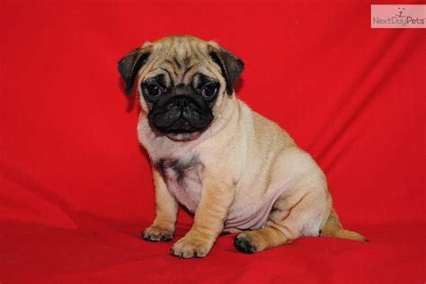 pugs for sale vancouver pug puppies for sale playful akc apricot pug puppy breeds picture